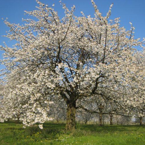 boom met bloesems